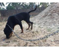 rottweiler 8 month for sale