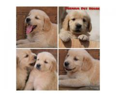 Golden Retriever Male Puppies are Available in Pune