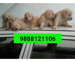 Golden Retriver puppy Buy and sell in jalandhar city