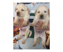 The Pet Point for Labrador Pup For Sale Aryan kennels