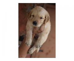 The Pet Point for Golden retriever Pup For Sale Aryan kennels 9555944924