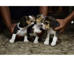 Beagle puppy available sale
