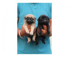 Pig puppies available for sale