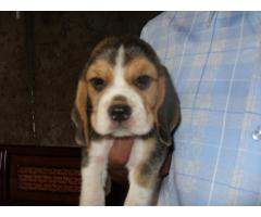 The Pet Point for Beagle Pup For Sale Aryan kennels 9555944924