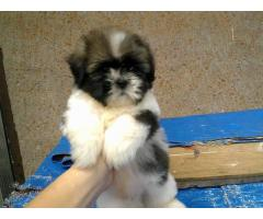 The Pet Point for Shih tzu Pup For Sale Aryan kennels 9555944924