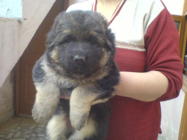 The Pet Point for German shepherd Pup For Sale Aryan kennels 9555944924