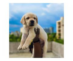 Lab puppies for sale in pune .