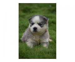 Husky puppies available for sale in pune