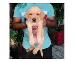 9910235592 Ultimate Quality Labrador Puppies Available