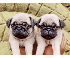 9910235592 Pug Puppies Available