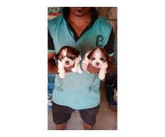 Shih Tzu male and female available