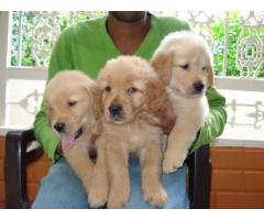 The Show Quality 100% Pure Puppies of Retriever Puppies for sale Male and Female The Pet Point