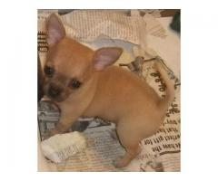 The Show Quality 100% Pure Puppies of Chihuahua Puppies for sale Male and Female The Pet Point