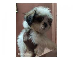 Too handsome and innocent SHIH-TZU female and male paws available in the dogs kennel-