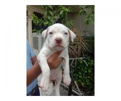 Red Nose American Pitbull Female Puppy Available 7065100447