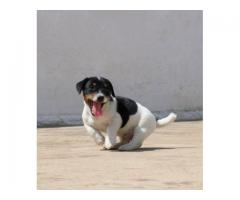 Dogsale Offers Jack Russell Puppies For Sale