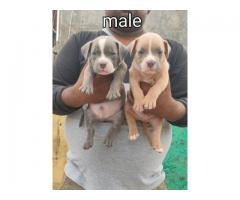 8130990153 strength American bully puppy available
