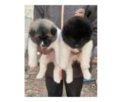 Bast quality akita male & female pups & dogs waiting for home..7300930479