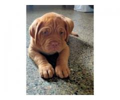 French Mastiff Male Puppy Available in Pune-914505522