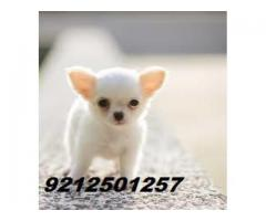 8860346006 Chihuahua Pups For Avail.