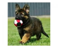 9555944924 | Top Quality Puppies German Shepherd, Beagle, Shihtzu, Puppy And Dogs Pet in Delhi