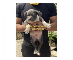 American Bully Dogs For Sale Adopt Buy Sell Kci Certified Puppies Online