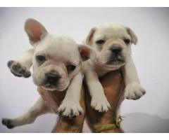 Show speciman french bulldog pups