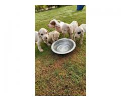Pakistany Bully Pups for sale