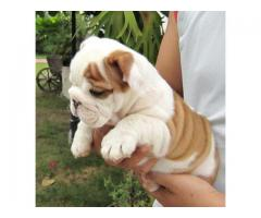 Top Quality and Healthy Breed Bulldog Breed Top Quality Puppies in Delhi NCR