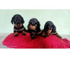 Hurry Up Frends Stock Limited  Excellent Quality Dachshund Pups  For Sale 9654249090