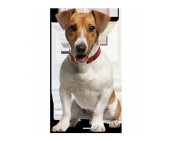 Jack Russell Pups For Sell Trust Kennel