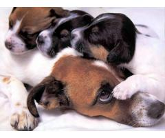 Jack Russell Terrier For Sell Trust Kennel