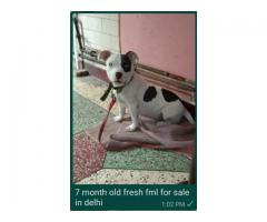 American Bully Puppies Available in Delhi