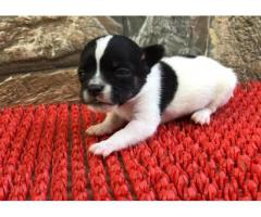 Chihuahua Pups For Sell KHWABEEDA DREAMY PET'S