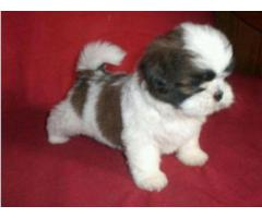 Shihtzu Pups for sale Trust Dogs Kennel