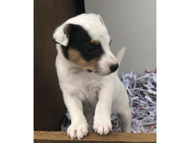 Jack Russell Puppies For sale Trust Dogs Kennel