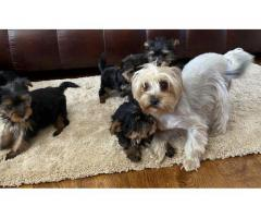Yorkshire terrier Puppies For sale Trust Dogs Kennel