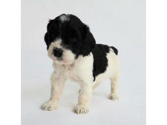 Cockapoo Pups For Sale Trust Dogs Kennel