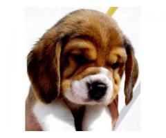 Beagle Puppies For Sale Trust Kennel