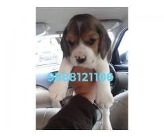 Beagal puppy buy and sell in jalandhar city