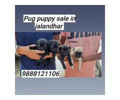 Pug puppy buy and sell in jalandhar ludhiana chandigarh