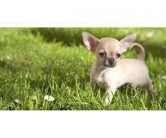 Chihuahua Puppies For sale Trust Dogs Kennel