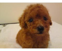HOME BREED POODLE PUPPIES MALE AND FEMALE FOR SALES@ DELHI 9555944924