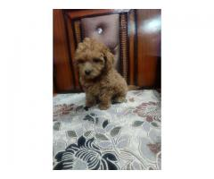 THE HOME BREED POODLE PUPPIES MALE AND FEMALE FOR SALES@ DELHI 9555944924