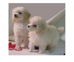 Direct Import Parent Poodle Pup Available For Sale in Delhi