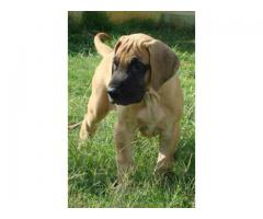 KCI Registered Great Dane puppies for sale through all over India