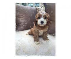 American cocker spaniel Pups Ready Now For sale Trust Dogs Kennel