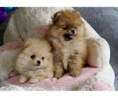 Toy Pom Pups For sale Trust Dogs Kennel