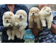 9716575323 Delightful Chow Chow pups available in Delhi ncr