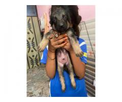 7503918074 (German Shepard 29days old puppies for sale male-13000 female-7000)